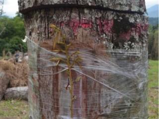 【涨知识】老树嫁接栽培成猫山王 提高收入来源