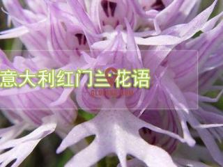 意大利红门兰的花语传说
