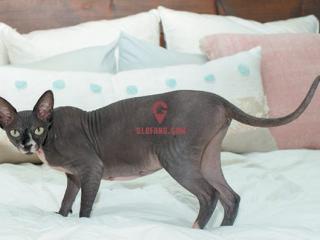 【斯芬克斯加拿大无毛猫纹身价格多少】加拿大无毛猫:关于这种无毛品种的裸体真相