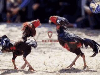 越南斗鸡其耐力极强斗技灵活,毛越稀少战斗力就越强