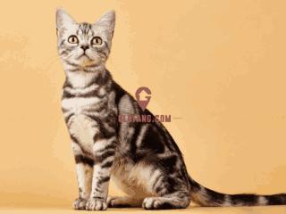 美国短毛猫要如何正确饲养