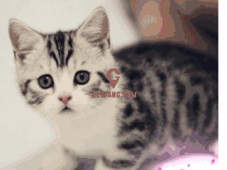 美国短毛猫应该怎么挑选,品相如何看?