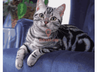 美国短毛猫粘人吗?