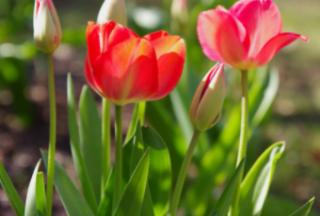 郁金香的花语和寓意是什么